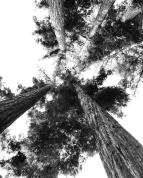 santa cruz trees
